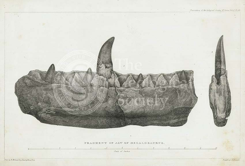 Fragment of jaw of Megalosaurus