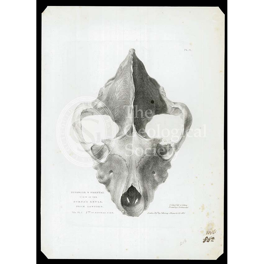 Skull of extinct hyena