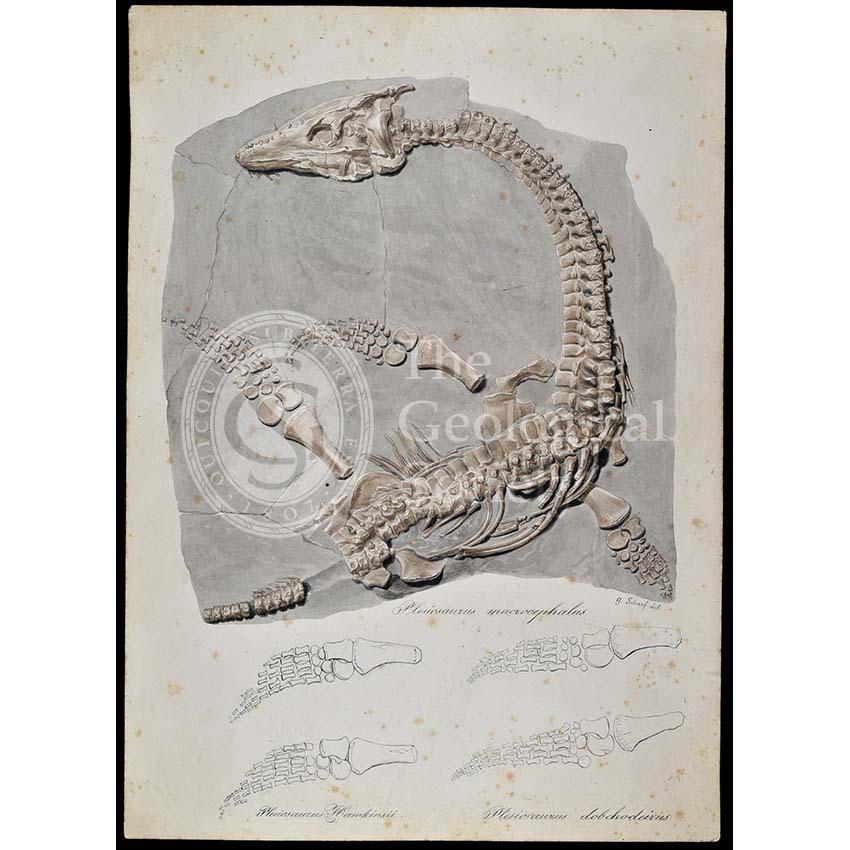 Plesiosaurus macrocephalus from Lyme Regis