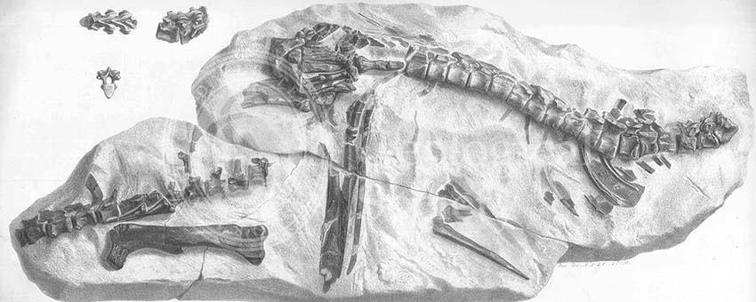 Hypsilophodon skeleton