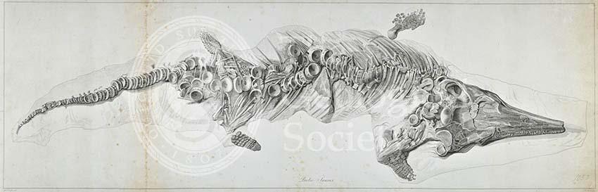 Proteosaurus, an ichthyosaur