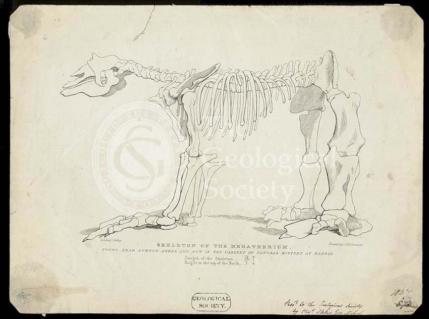 Skeleton of a Megatherium