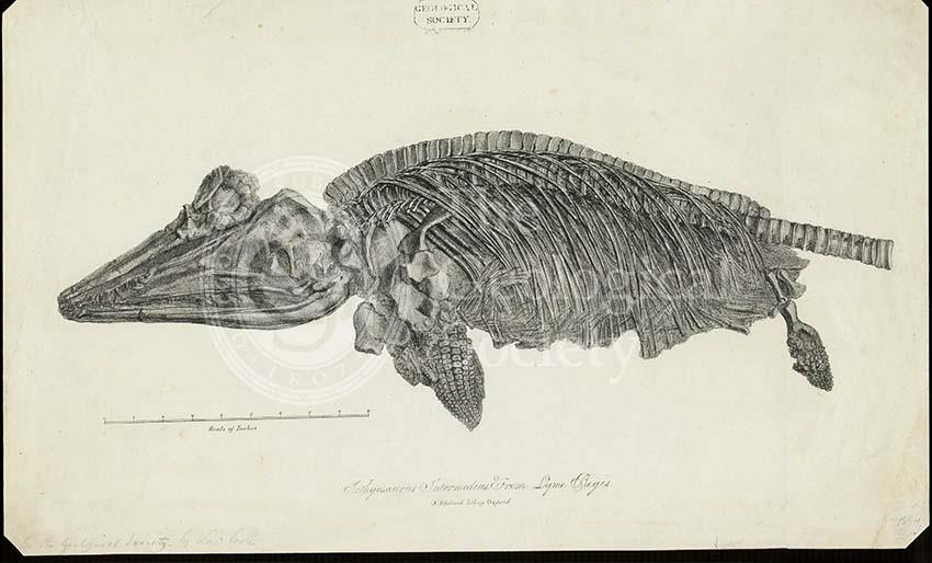 Ichthyosaurus Intermedius from Lyme Regis