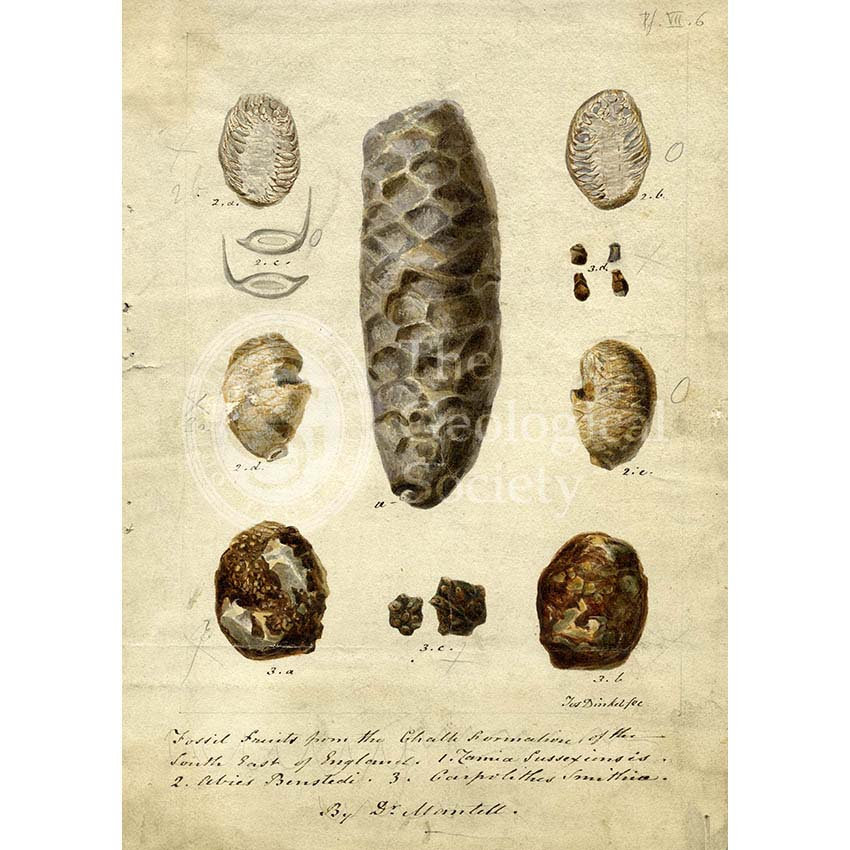 Fossil fruits