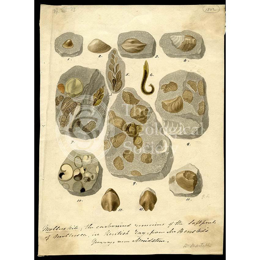 Molluskite (fossilised molluscs)