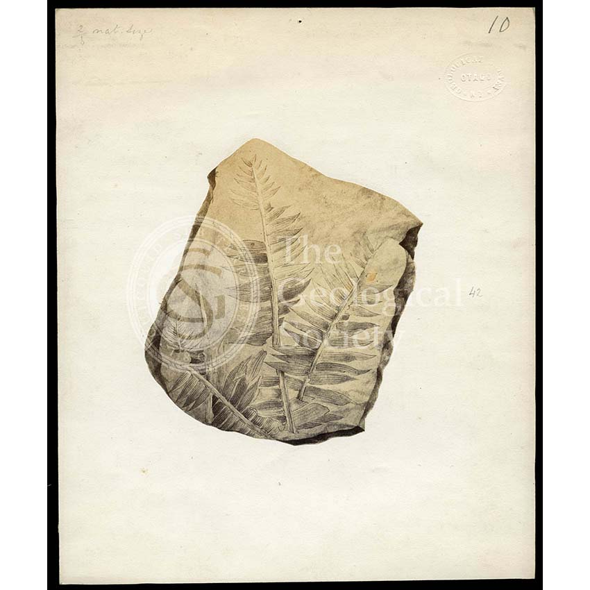 Fossil plant from Otago