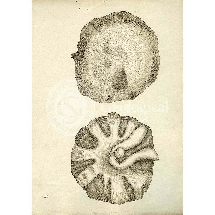 Polypothecia agariciformis