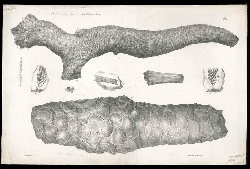 Clathraria lyelli