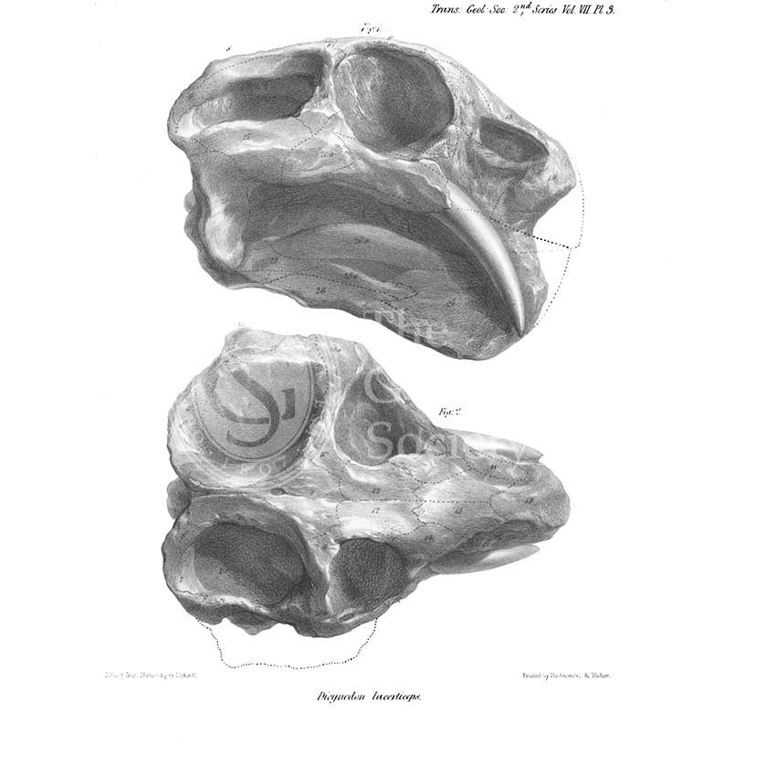 Skull of Dicynodon lacerticeps