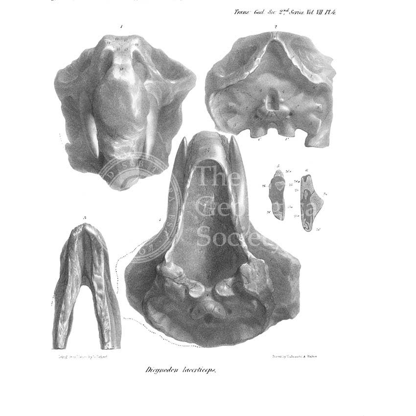 Skull and jaw of Dicynodon lacerticeps