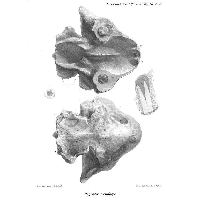 Skull of Dicynodon testudiceps