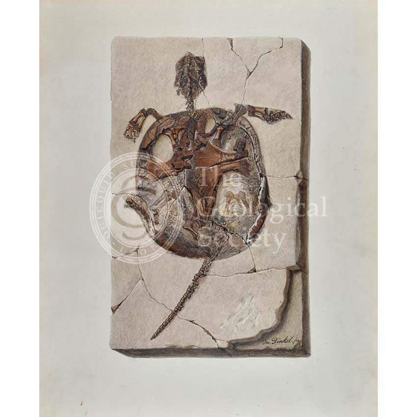 Fossil tortoise from Oeningen