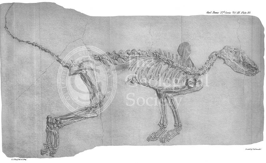 Fossil fox from Oeningen