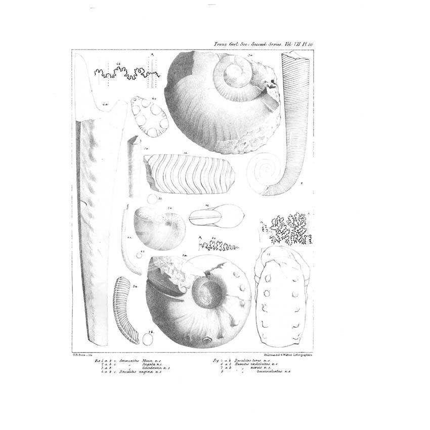 Fossil cephalapoda