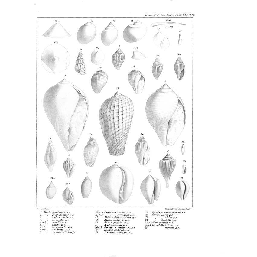 Fossil mollusca