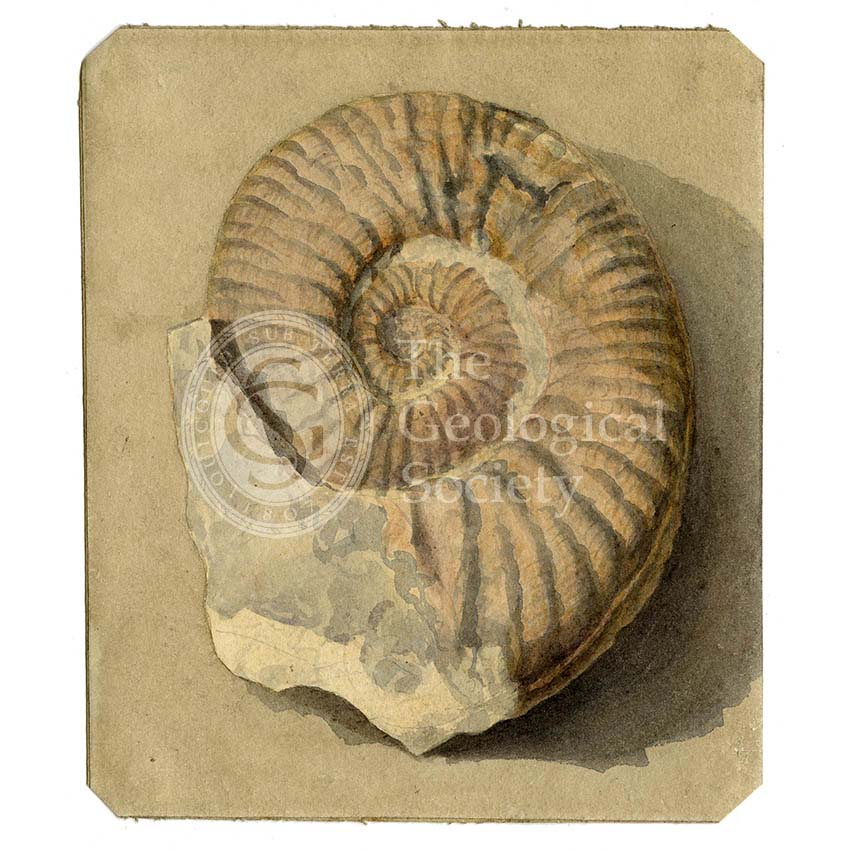 Study of an ammonite