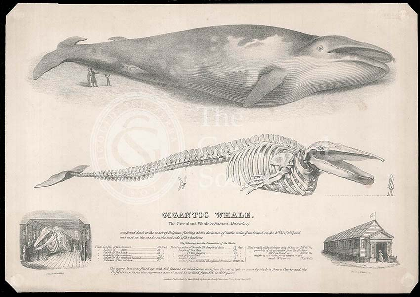 The Gigantic Greenland Whale