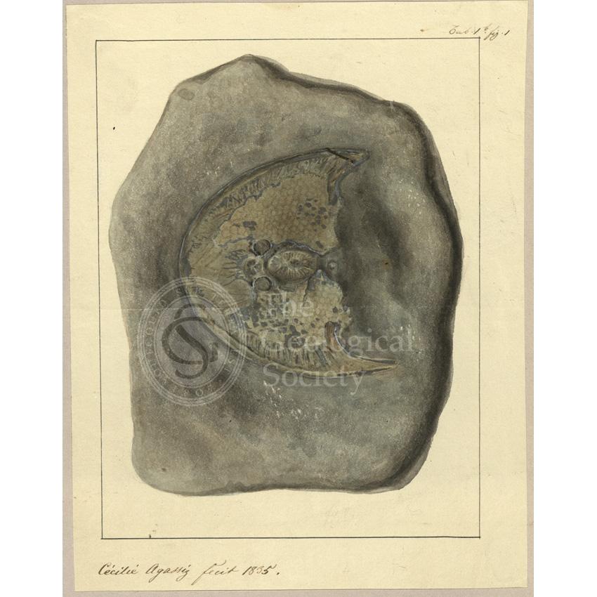 Cephalaspis Lyelli