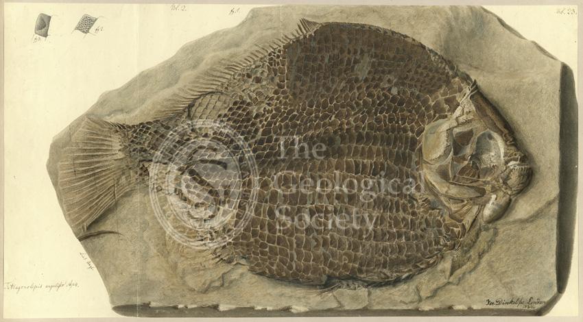 Tetragonolepis angulifer Agassiz
