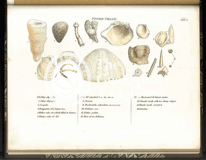 Upper Chalk fossils