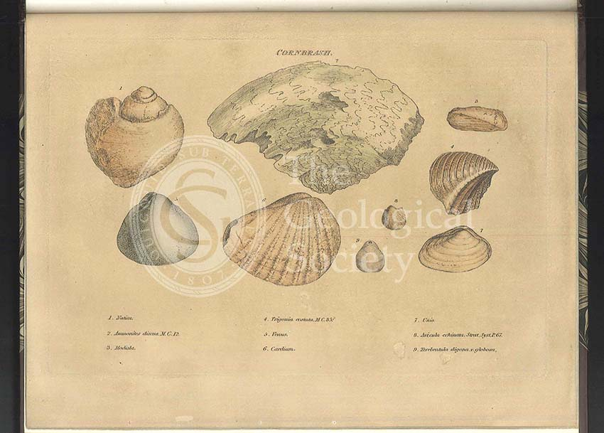 Cornbrash fossils