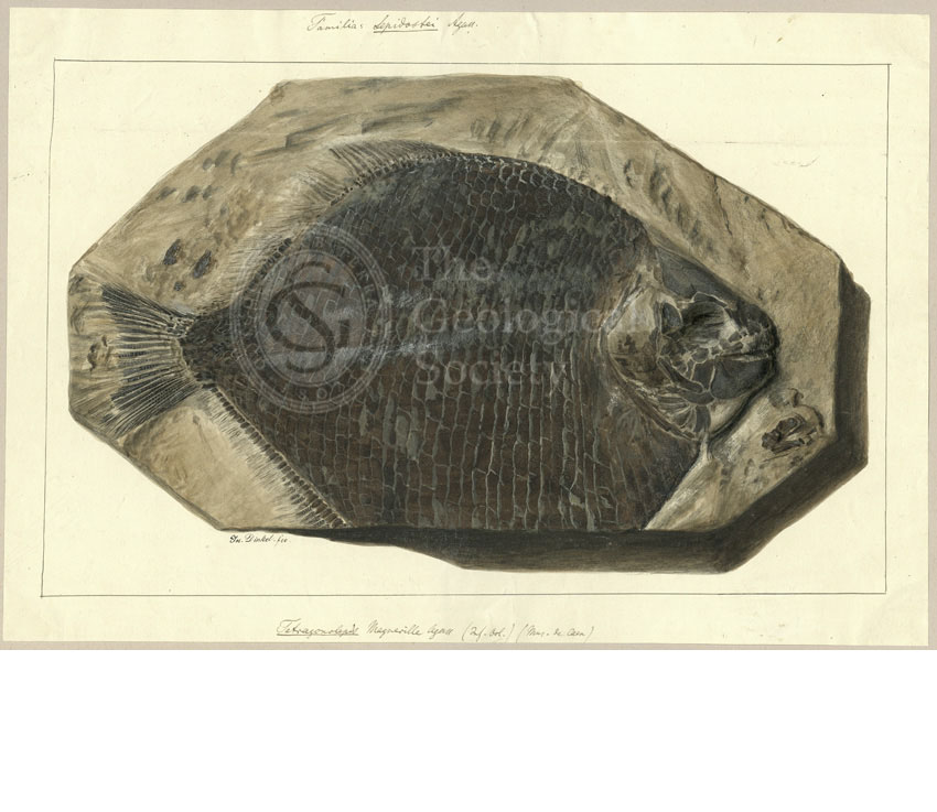 Tetragonolepis Magneville Agassiz