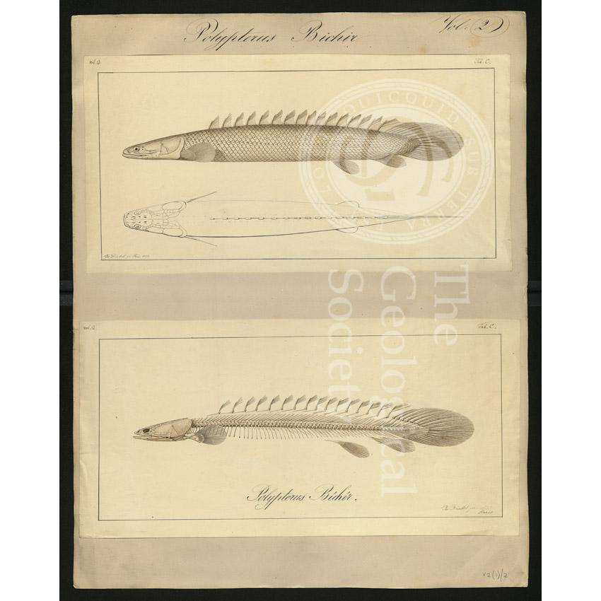 Polypterus bichir