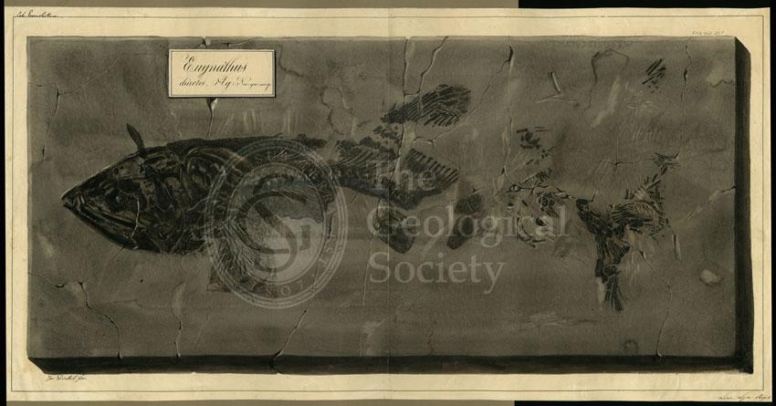 Eugnathus chirotes Agassiz
