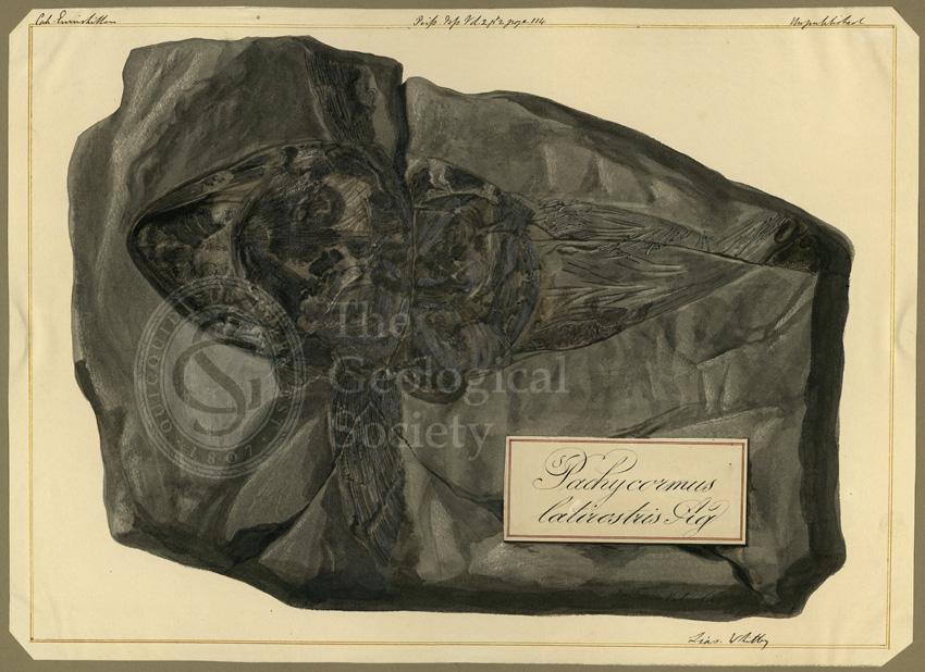 Pachycormus latirostris Agassiz
