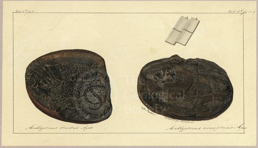 Amblypterus striatus Agassiz and Amblypterus nemopterus Agassiz