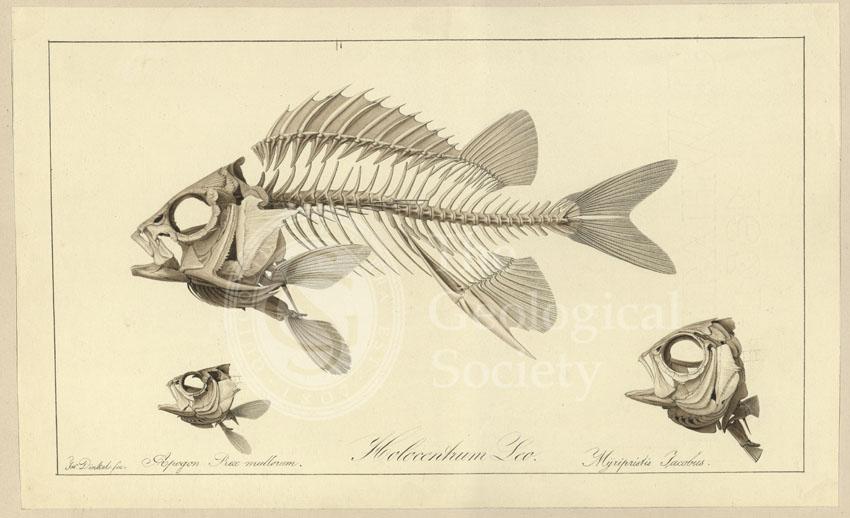 Holocentrum Leo; Apogon Rex multorum; Myrlpristis Jacobus