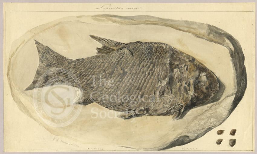 Lepidotus minor