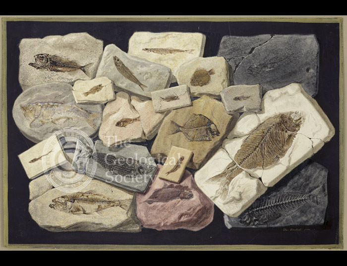 Fossil fish from the collection of William Willoughby Cole