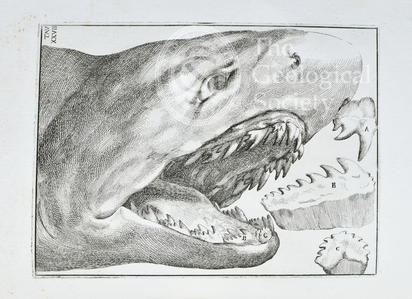 Shark's head and teeth