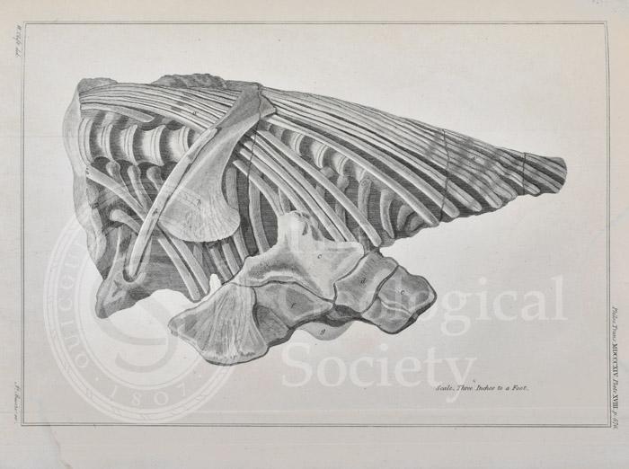 Vertebrae and ribs of an ichthyosaur