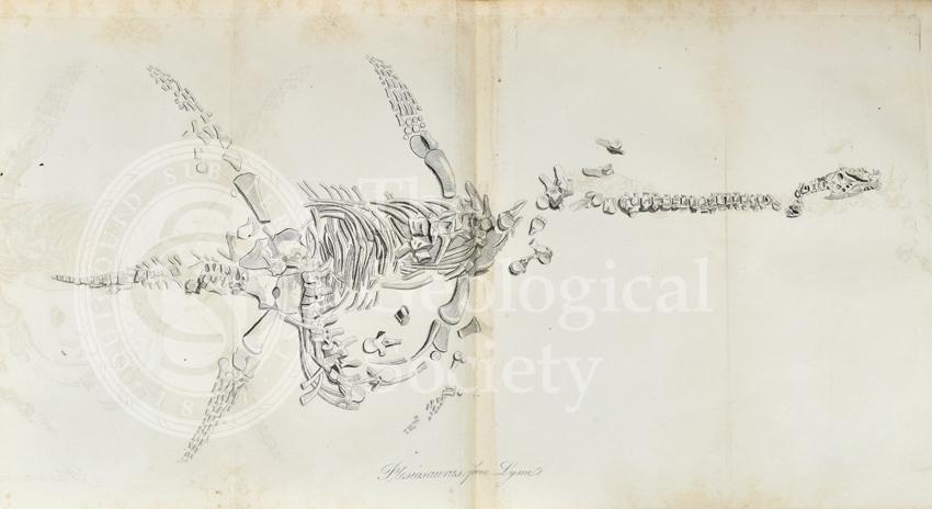 Plesiosaurus from Lyme Regis