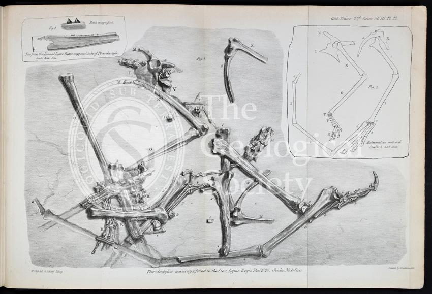 Pterodactylus macronyx