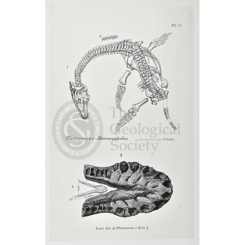 Plesiosaurus macrocephalus