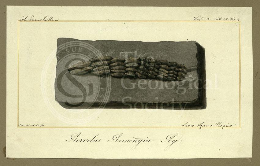 Teeth of Acrodus anningiae Agassiz