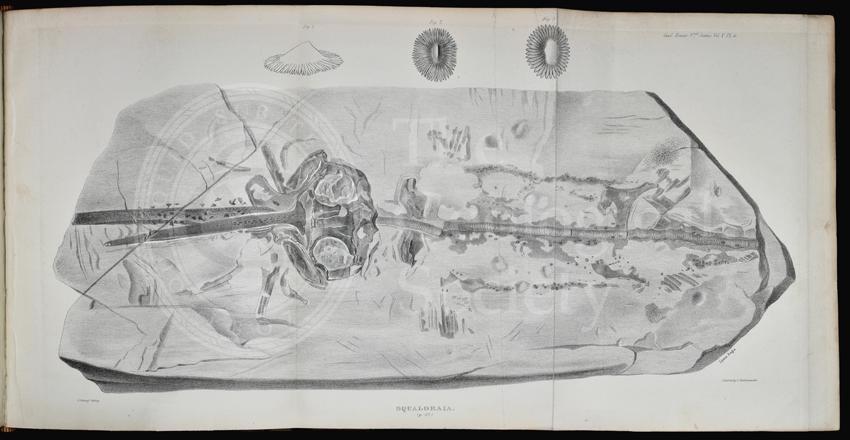 'Squaloraia' [lithograph]