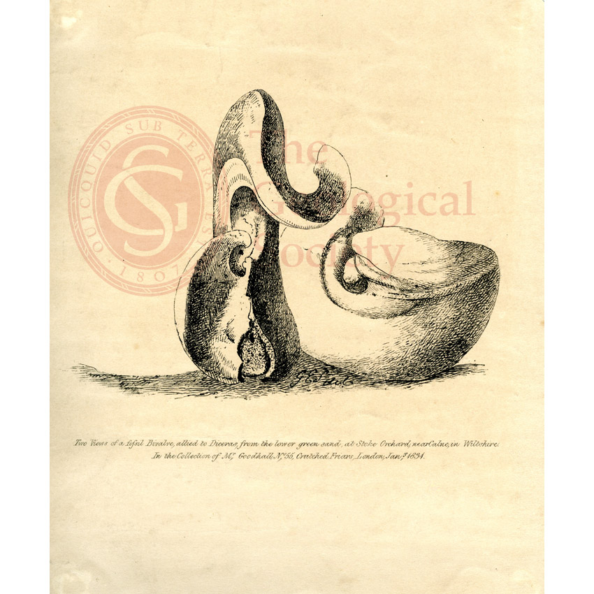 'Two views of a fossil bivalve allied toDiceras…'